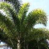 Vossenstaartpalm (Wodyetia bifurcata)_