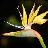 Gele paradijsvogelbloem (Strelitzia reginae 'Mandela's Gold')_