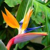 Paradijsvogelbloem (Strelitzia reginae)_