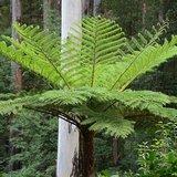 Australische boomvaren (Cyathea cooperi)_