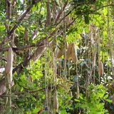 Worstenboom (Kigelia africana)_