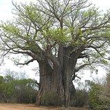 Afrikaanse baobab (Adansonia digitata)_