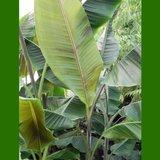 Helen's banaan (Musa sp. 'Helens Hybrid')_