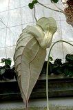 Pelikaanbloem (Aristolochia grandiflora)_