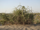 Zwarte gojibes (Lycium ruthenicum)_