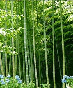 Indische doornbamboe (Bambusa bambos)