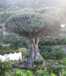 Drakenbloedboom (Dracaena draco)