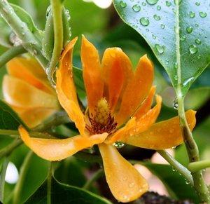Gouden champaca (Magnolia champaca)