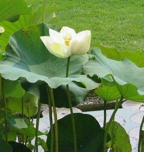 Witte Indische lotus (Nelumbo nucifera 'alba')