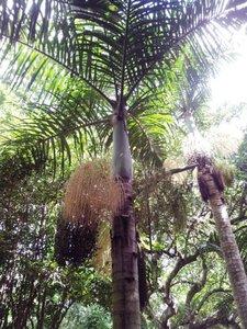 Spindelpalm (Hyophorbe verschaffeltii)