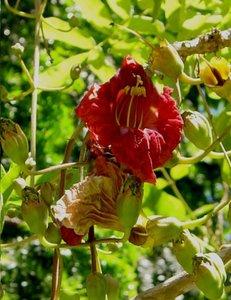 Worstenboom (Kigelia africana)