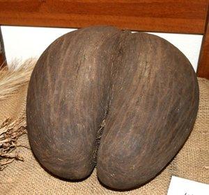 Coco de Mer (Lodoicea maldivica)