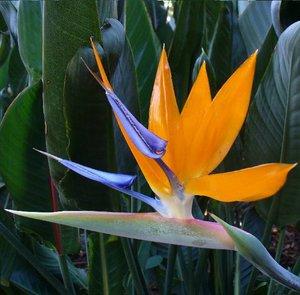 Paradijsvogelbloem (Strelitzia reginae)