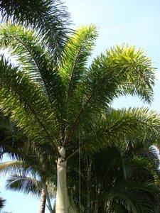 Vossenstaartpalm (Wodyetia bifurcata)
