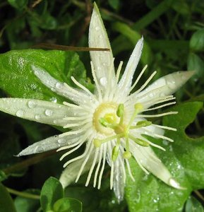 Passiebloem (Passiflora capsularis)