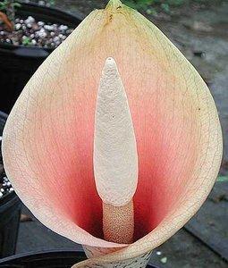 Voodoolelie (Amorphophallus bulbifer)
