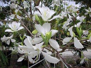 Witte orchideeboom (Bauhinia variegata 'candida')
