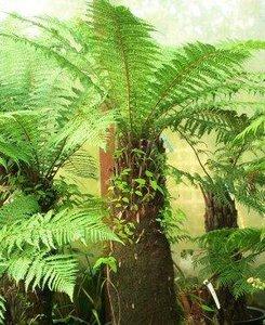 Whoki Ponga boomvaren (Dicksonia fibrosa)