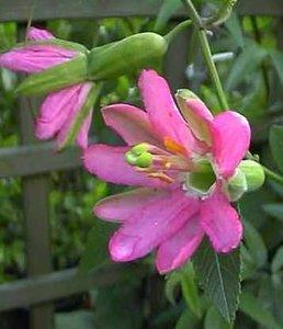 Passiebloem (Passiflora matthewsii)