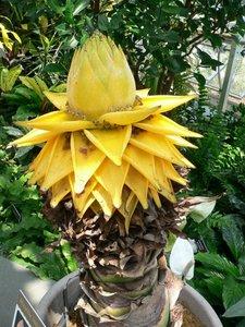 Heilige lotus (Musella lasiocarpa)