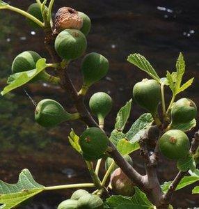 Vijg (Ficus carica)