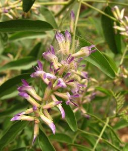 Zoethout (Glycyrrhiza glabra)