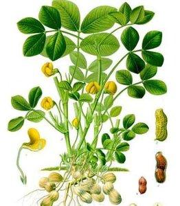 Pinda (Arachis hypogaea)