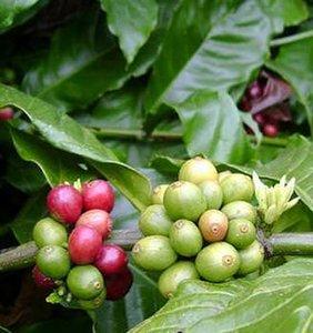 Robusta koffie (Coffea canephora)