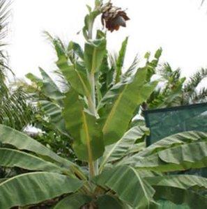 Kluay Pa banaan (Ensete sp. 'Kluay Pa')