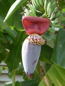 Zoete wilde banaan (Musa balbisiana)