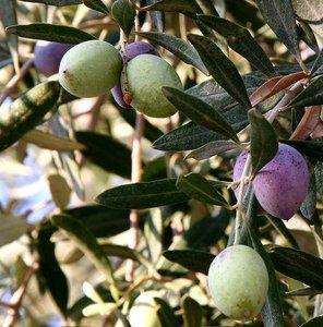Europese olijf (Olea europaea)