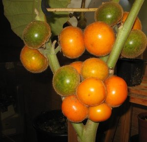 Naranjilla (Solanum quitoense)