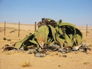 Kanniedoodplant (Welwitschia mirabilis)