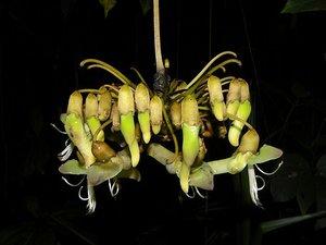 Kroonluchterboon (Mucuna holtonii)