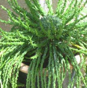 Medusa's haar (Euphorbia caput-medusae)