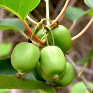 Mini-kiwi (Actinidia arguta 'Issai')