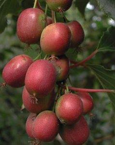 Rode kiwi (Actinidia purpurea)