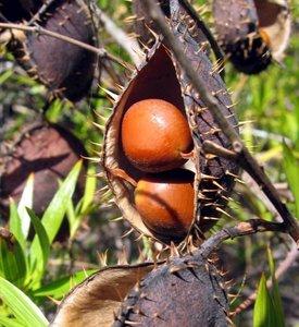 Gele knikkernoot (Caesalpinia ciliata)