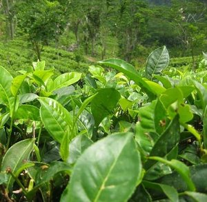 Theeplant (Camellia sinensis)