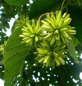 Boom van het leven (Camptotheca acuminata)