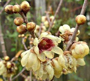 Winterzoet (Chimonanthus praecox)