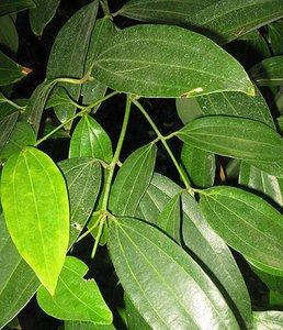 Kaneelboom (Cinnamomum zeylanicum)