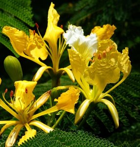 Gele flamboyant (Delonix regia var. flavida)