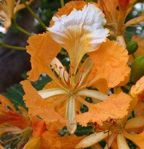 Oranje flamboyant (Delonix regia 'orange')