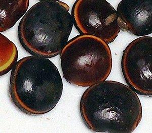 Zeeportemonnee (Dioclea reflexa)