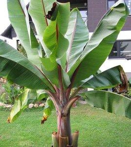Ethiopische banaan (Ensete ventricosum)
