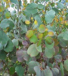 Moeraseucalyptus (Eucalyptus camphora)
