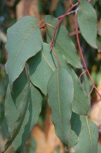 Alpine ash (Eucalyptus delegatensis)