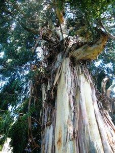 Suikereucalyptus (Eucalyptus viminalis)