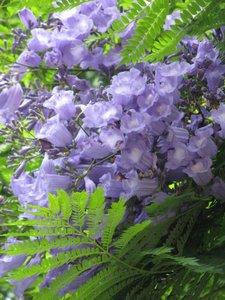 Blauwe jacaranda (Jacaranda mimosifolia)